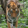 Tigre con coronavirus. Tigre en Camboya. Foto: Rhett A. Butler.