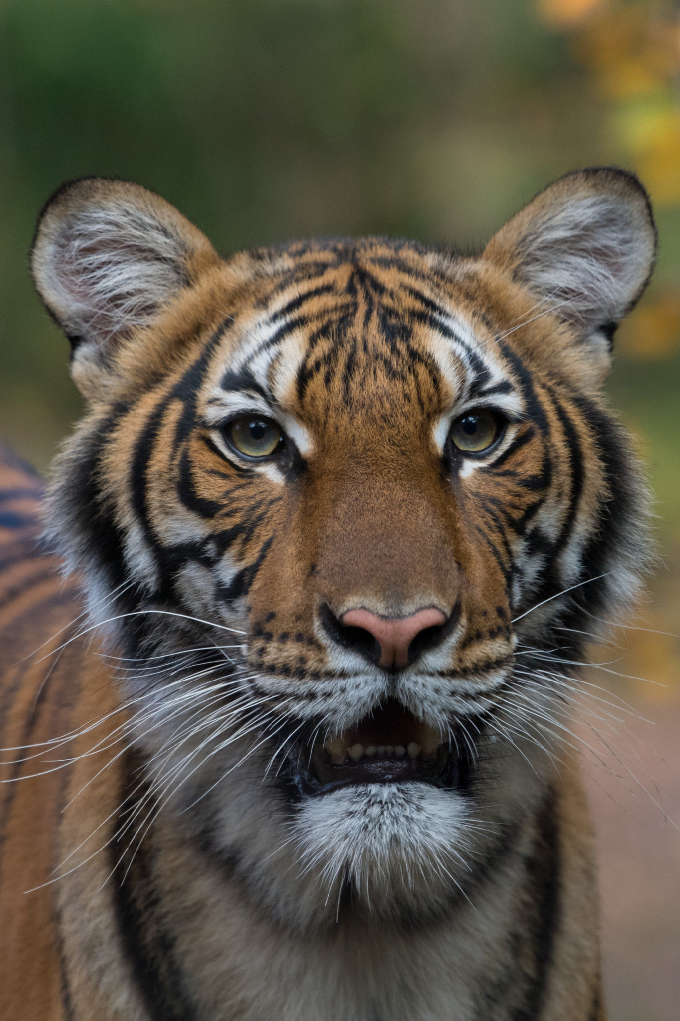 Tigre con coronavirus. Un tigre malayo. Imagen de Julie Larsen Maher / WCS.