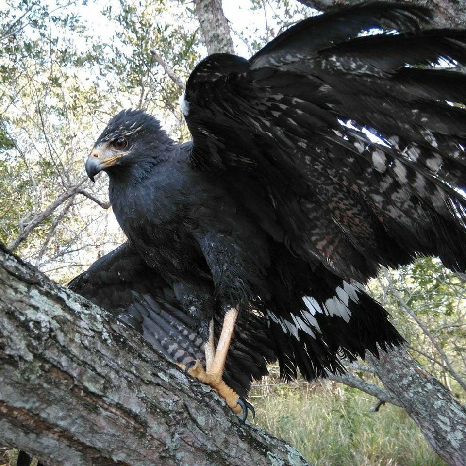 Aguila negra menor en La Mancha, Veracruz