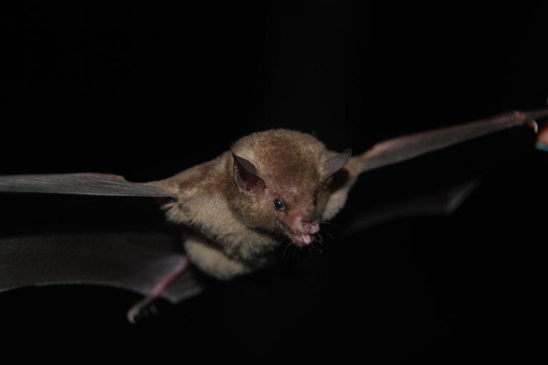 Conservación de murciélagos en Ecuador. Murciélago del Bosque Protector Cerro Blanco. Foto: Santiago Burneo.