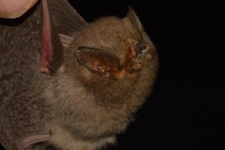 Conservación de murciélagos en Ecuador. Murciélago encontrado en la comuna de Cauchiche. Foto: Cortesía.