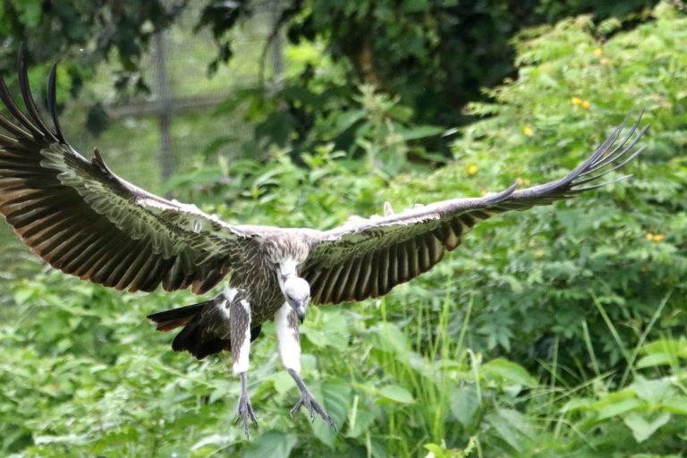 Un buitre dorsiblanco bengalí (Gyps bengalensis) en peligro crítico de extinción que muestra parte de su característico cuello blanco y las plumas de sus patas se acerca a un cadáver. Imagen de Abhaya Raj Joshi para Mongabay.