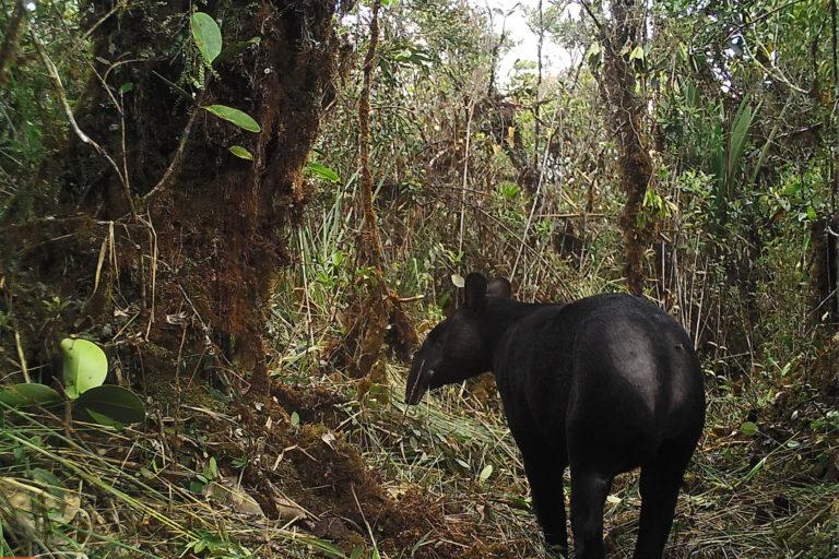 Día Internacional del Tapir El tapir de montaña es considerado un arquitecto del bosque. Foto: WWF.