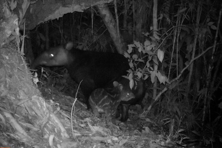 Día Internacional del Tapir Los tapires han sido captados por las cámaras con mayor frecuencia durante las tardes y noches. Foto: WWF.