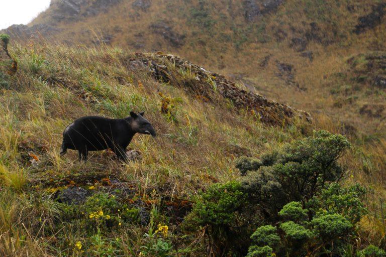 Los páramos del norte de Perú son el hábitat del tapir de montaña. Foto: José Vallejos / SBC.