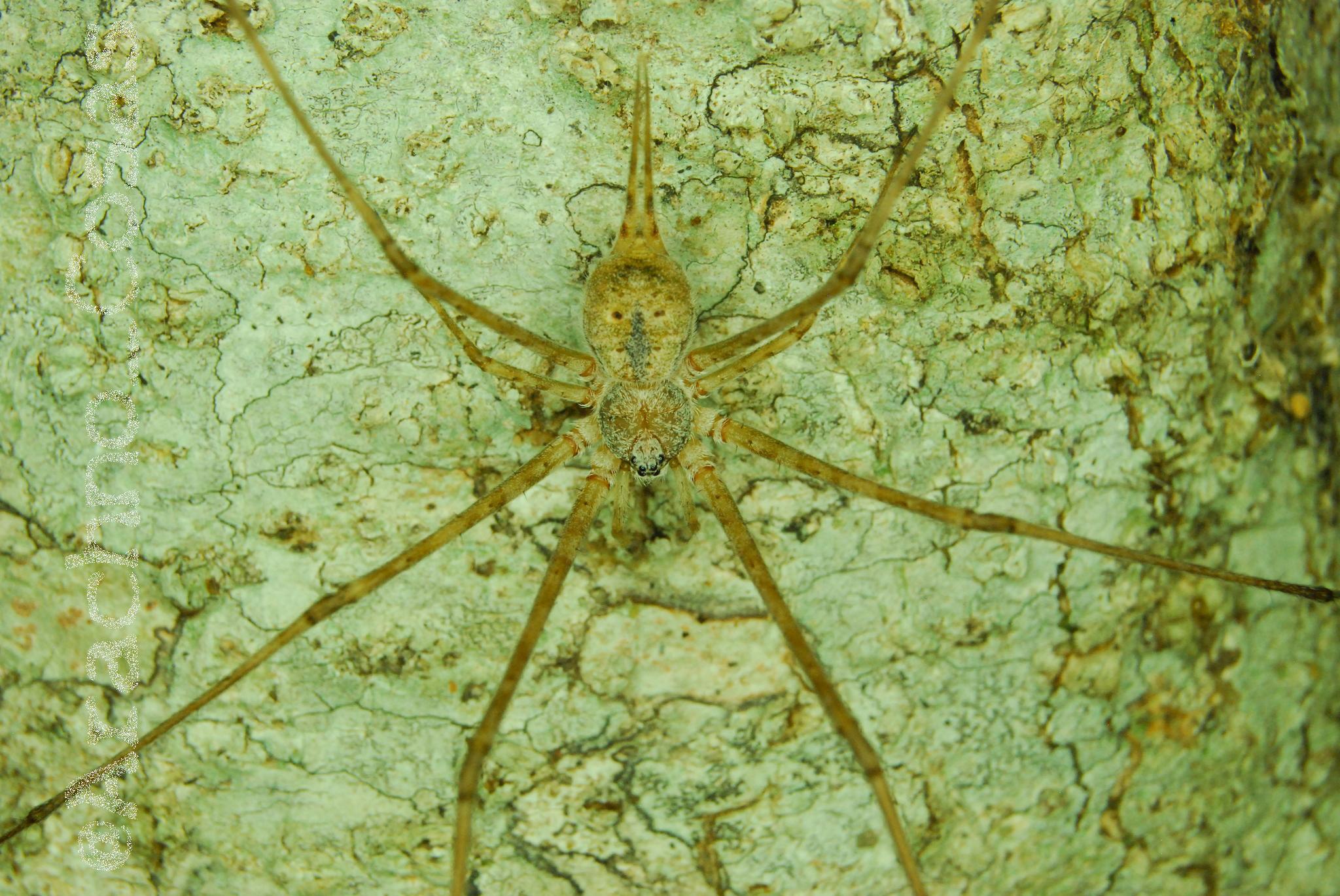 Arañas México