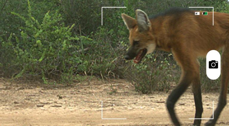 Composición a partir de una imagen de un lobo de crin (Chrysocyon brachyurus) en el bosque seco del Chaco en La Fidelidad, Argentina. Foto: cortesía de Verónica Quiroga.