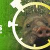 Composición a partir de imagen de un saino o puerco de monte (Pecari tajacu). Foto: Parques Nacionales Naturales de Colombia, Conservación Internacional y Amazon Conservation Team.