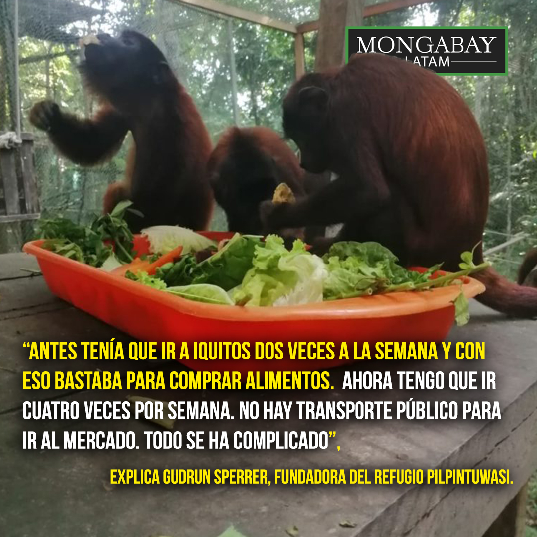 Composición de Mongabay Latam a partir de fotografía de un grupo de monos comiendo frutas y verduras en Amazon Shelter, un centro de rescate ubicado en Puerto Maldonado. Foto: Amazon Shelter.