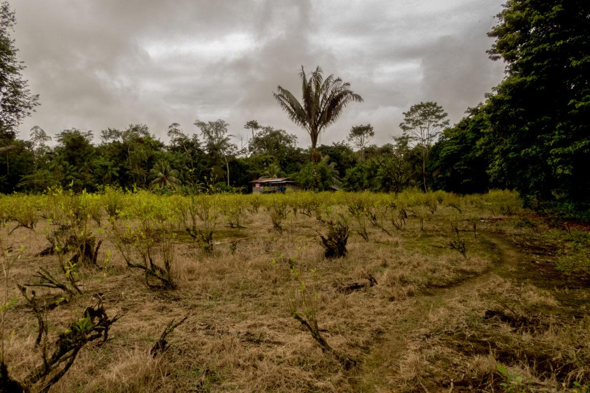 Deforestación en parques nacionales. Deforestación para cultivos de coca en el Pacífico colombiano. Foto: Gustavo Pisso.