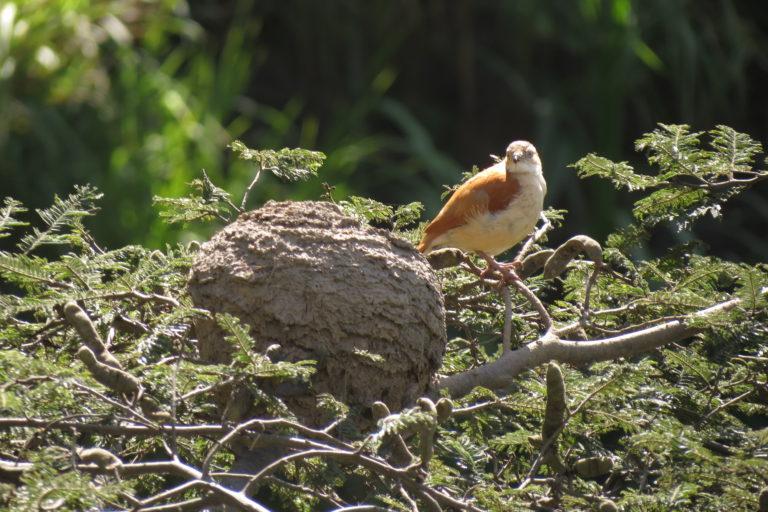 El chilalo, un ave del norte de Perú. Foto: Fernando Angulo.