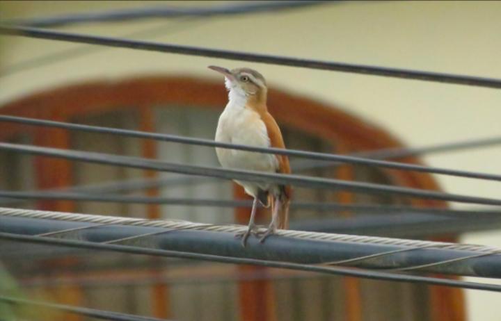 Global Big Day El hornero paticlaro (Furnarius leucopus), otra de las especies que se pueden ver en el norte peruano. Foto: Fernando Angulo.