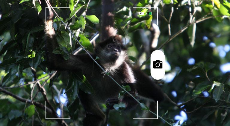 Candid Animal Cam. Un mono araña mexicano en Cancún. Crédito: Rhett A. Butler / Mongabay