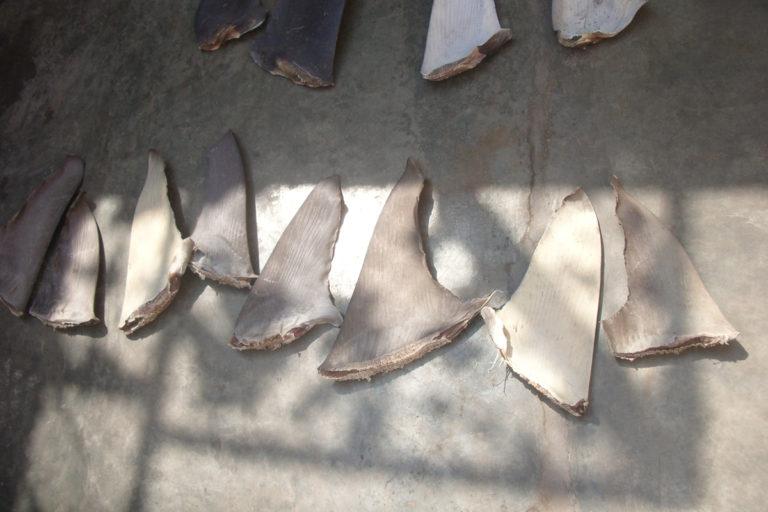 Aletas de tiburón en Perú. Foto: Oceana.