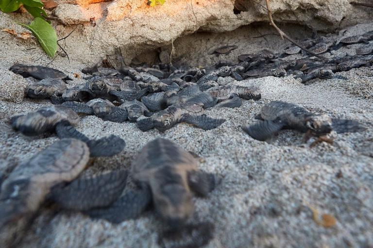Conservación tortugas carey. Tortugas carey salen de su nido. Foto: Equilibrio Azul/ @equilibrioazul
