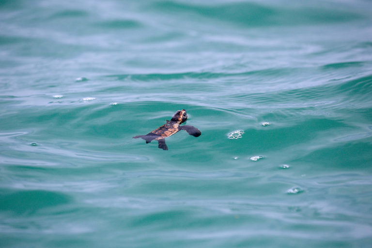 Conservación tortugas carey. Son pocas las tortugas que nacen y logran llegar al agua. Equilibrio azul ayuda a que el porcentaje de éxito sea mayor. Foto: Equilibrio Azul/ @equilibrioazul