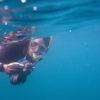 Conservación tortugas carey. Solo las carey hembra regresan a las playas a anidar. Lo hacen cuando alcanzan la madurez sexual, aproximadamente a los 20 años. Foto: Equilibrio Azul/ @equilibrioazul