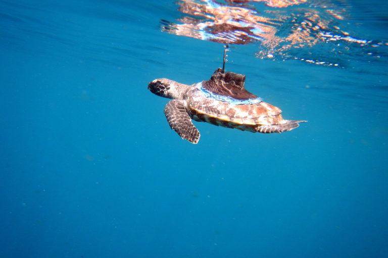 Conservación tortugas carey. La tortuga carey es una de las tortugas marinas más amenazadas por la caza ilegal. Foto: Equilibrio Azul/ @equilibrioazul