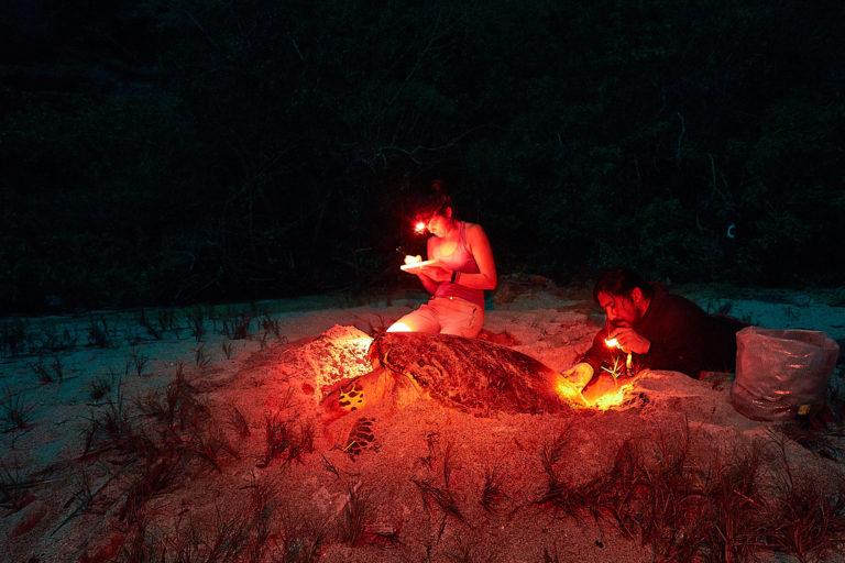 Conservación tortugas carey. Con luces rojas los investigadores exploran las playas en la noche para no perturbar a las tortugas. Foto: Equilibrio Azul/ @equilibrioazul