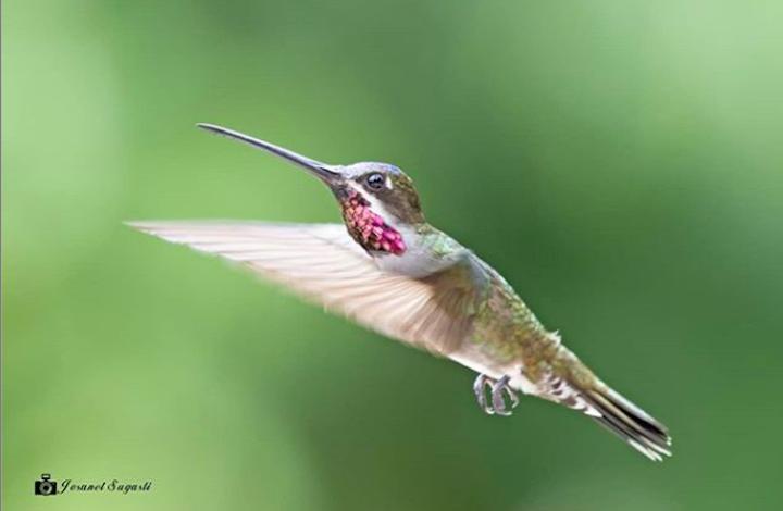 Panamá quedó cuarto en el ranking de mayor cantidad de listas subidas al e-bird. Foto: Josabel Sugasti.