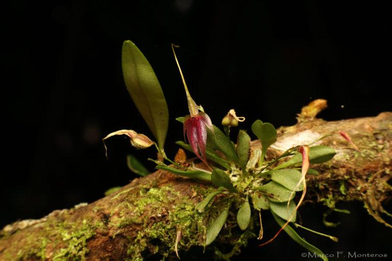 Conservación de orquídeas. En la reserva Drácula hay 454 especies de orquídeas. Foto: Marco F. Monteros - Ecominga.