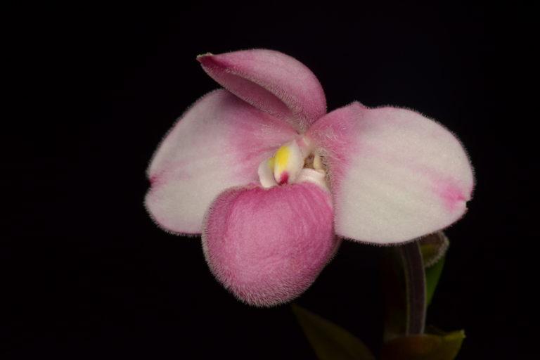 Conservación de orquídeas. Orquídea en la reserva Drácula. Foto: Fundación Ecominga.
