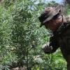 Detalle de operativo contra la marihuana en la Reserva Natural Morombí de Paraguay. Foto: La Nación