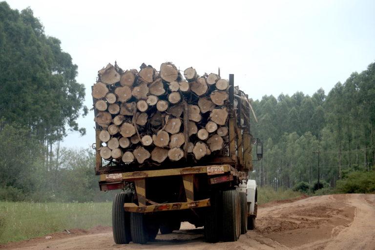 El gobierno de Bolivia emitió una resolución para importar plantines de eucalipto destinados a crear plantaciones forestales comerciales. Foto Pánfilo Leguizamón.