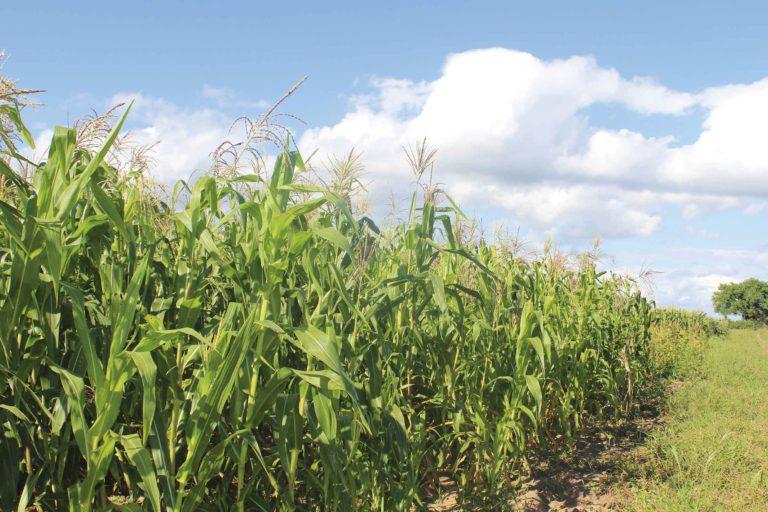La polémica norma que permite uso de semillas transgénicas de cinco cultivos es un tema que marcaría las elecciones. Foto: Probioma.