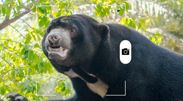 Candid Animal Cam. Gráfico a partir de una foto de un oso malayo. Crédito: Mhdmzml / Wikimedia Commons