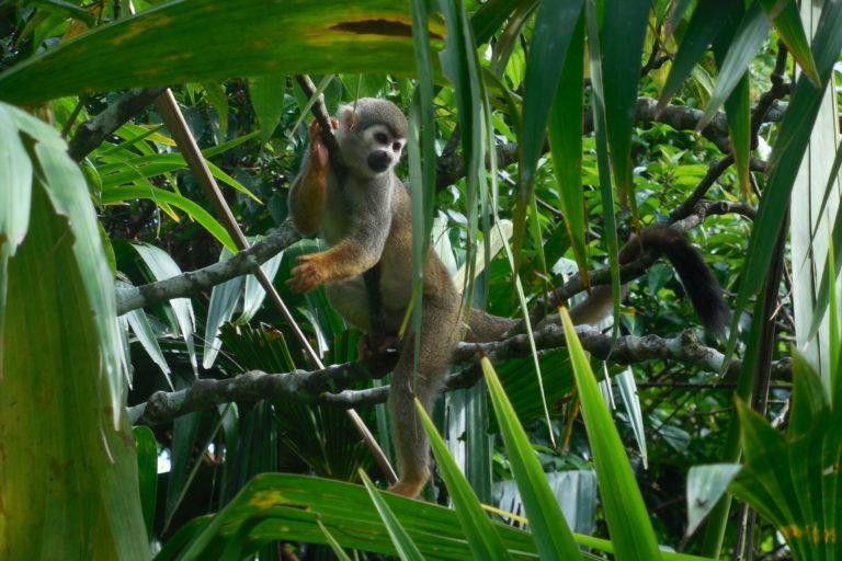 Carretera parque Yasuní. Mono ardilla (Saimiri cassiquiarensis) en el Parque Nacional Yasuní. Foto: © Rubén Cueva/WCS.