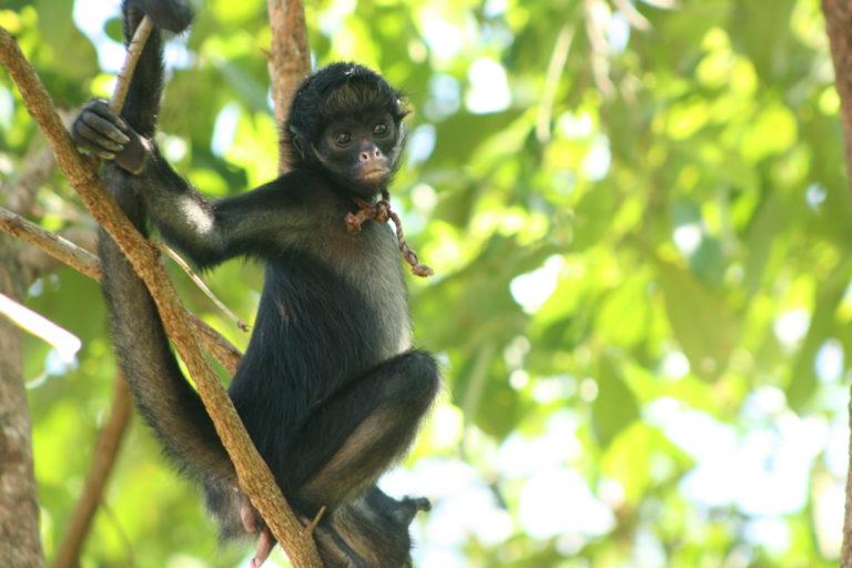 Conservación de primates. Mono araña (Ateles belzebuth). Foto: © Jaime Palacios/WCS.