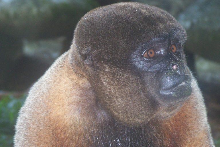 Conservación de primates. Mono chorongo (Lagothrix lagotricha). Foto: © Rubén Cueva/WCS.