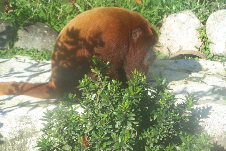 Conservación de primates. Mono aullador (Alouatta seniculus). Foto: © Rubén Cueva/WCS.