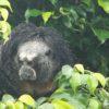 Conservación de primates. Saki del Napo (Pithecia napensis). Foto: © Rubén Cueva/WCS.