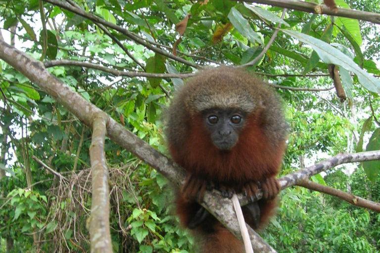 Conservación de primates. Tití rojo (Plecturocebus discolor). © Rubén Cueva/WCS.