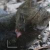 Composición para Candid Animal Cam a partir de una foto de un yaguarundi. Foto: Rhett A. Butler / Mongabay