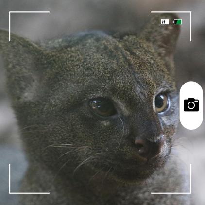 Composición para Candid Animal Cam a partir de una foto de un yaguarundi Foto: Rhett A. Butler / Mongabay.