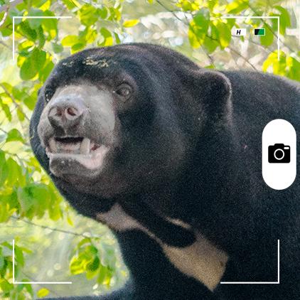 Composición para Candid Animal Cam a partir de una foto de un oso malayo Foto: Mhdmzml / Wikimedia Commons