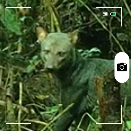Composición para Candid Animal Cam a partir de una foto de un perro de orejas cortas Video original: Sam McHugh.