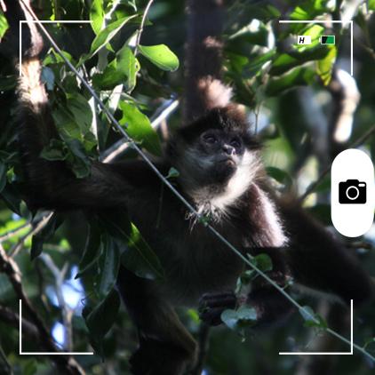 Composición para Candid Animal Cam a partir de una foto de un mono araña. Foto: Rhett A. Butler / Mongabay