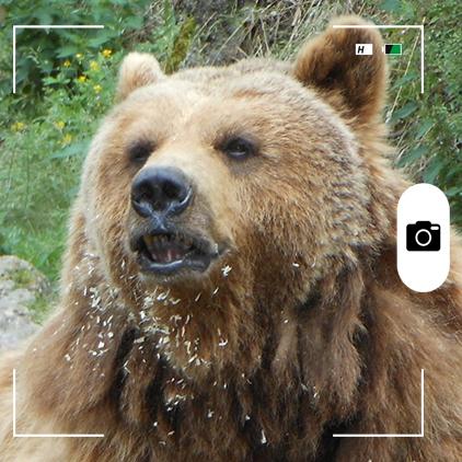 Composición para Candid Animal Cam a partir de una foto de un oso pardo. Foto: Nixinova / Wikimedia Commons.