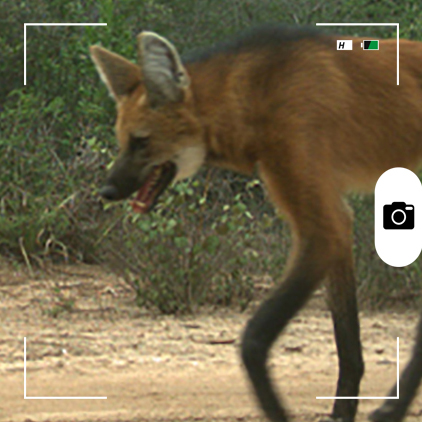 Composición para Candid Animal Cam a partir de una foto de un lobo de crin o aguará guazú. Foto: cortesía de Verónica Quiroga.