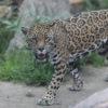 Un jaguar en la Amazonía. Foto: Rhett A. Butler / Mongabay