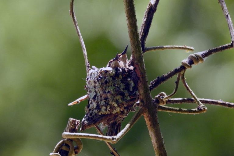 Conservación de aves. Dos pichones Estrellita Esmeraldeña reposan en el nido, avistado por los guardaparques de la Reserva Río Ayampe a inicios del año 2020. Foto: Cortesía Fundación Jocotoco.