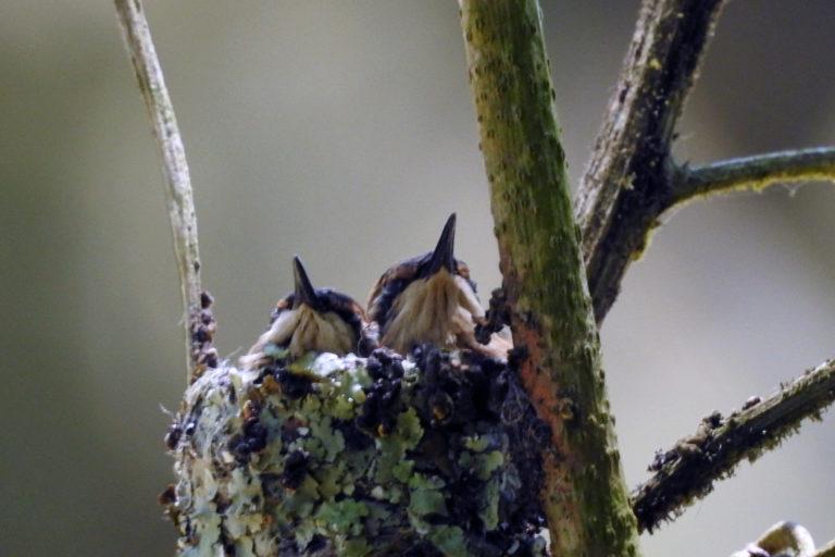 Conservación de aves. Seis pichones Estrellita Esmeraldeña han dejado exitosamente el nido que se encuentra en la Reserva Río Ayampe, emprendiendo vuelo hacia la cadena montañosa de la costa ecuatoriana. Foto: Cortesía Fundación Jocotoco.