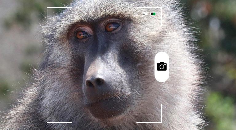 composición a partir de una foto de un babuino de Anubis en el Parque Nacional Akager, Ruanda. Crédit: Rhett A. Butler