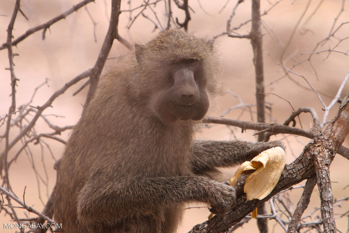 Un babuino de Anubis se alimenta de un plátano en el Parque Nacional Tarangire, Tanzania. Foto: Rhett A. Butler