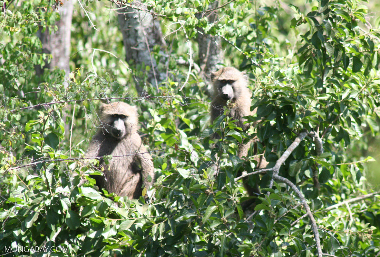 Un par de babuinos de Anubis en un árbol en Uganda. Foto: Rhett A. Butler