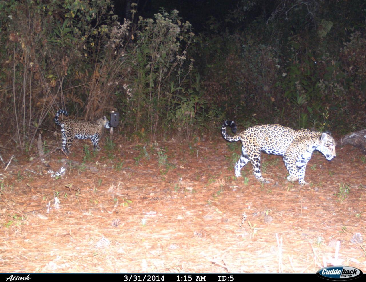 jaguar en Guerrero